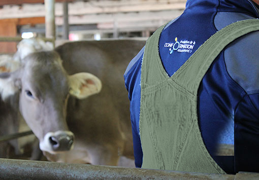 Brown Swiss Cow and Classifier
